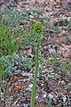 Eriogonum alatum. 2017.06.05 10.44.03 IMG 0476 - Flickr - andrey zharkikh.jpg