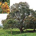 Erythina fusca (14405999796).jpg