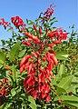 Erythrina crista-galli kz03.jpg