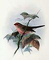 Estrilda troglodytes 1876.jpg