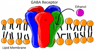 GABRA2 - Shows the five subunits that comprise the GABA-A receptor. GABRA2 is only one alpha subunit in the structure demonstrated with the color red.
