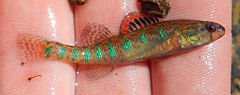 Etheostoma gracile.jpg