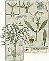 Etude de la plante - p.14 fig.12 - Gui.jpg