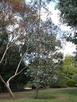Eucalyptus cinerarea