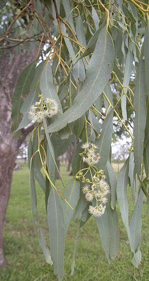 Eucalyptus coolabah - E. coolabah' flowers