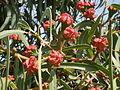 Eucalyptus erythrocorys 3c.JPG