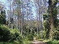 Eucalyptus saligna Black Bulga forest.JPG