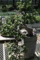 Eugenia uniflora 10zz.jpg