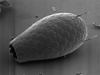 Cercozoa - Image: Euglypha sp