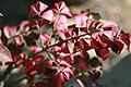 Euonymus alatus Compactus 2zz.jpg
