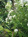 Eupatorium japonicum1.jpg