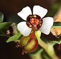EuphorbiaAlbomarginata 7694fs.jpg