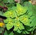 Euphorbia February 2008-2.jpg