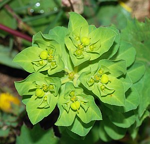 Euphorbia - Euphorbia cf. serrata