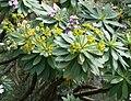 Euphorbia bourgeana02.jpg