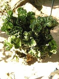Euphorbia lactea 1