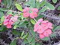 Euphorbia milii3.jpg