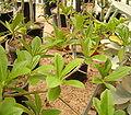 Euphorbia umbraculiformis ies.jpg
