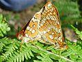 Euphydryas aurinia mating.jpg
