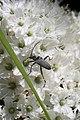 Euracmaeops cf angusticollis (Cerambycidae- Lepturinae- Rhagiini) on Ledum hypoleucum (36099306896).jpg