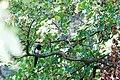 Eurasian Magpie - 9-23-14 - Bois de Vincennes, Paris, FR (19961936320).jpg
