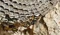 European Paper Wasps (Polistes dominula) on nest ... (43709260174).jpg