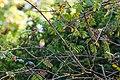 European Robin - 9-23-14 - Bois de Vincennes, Paris, FR (20155509291).jpg