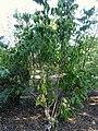 Euscaphis japonica - J. C. Raulston Arboretum - DSC06182.JPG