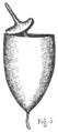 Eustichium Norvegicum - Fig-3.png