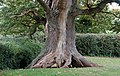 Exposed roots of an ancient hollow oak at Raglan Castle - geograph.org.uk - 1531274.jpg