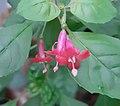 F. x bacillaris bloem.jpg