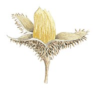 Fagus sylvatica fruit illustration.jpg