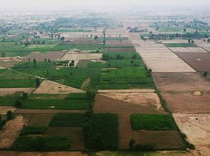 Rice production in Pakistan - A farm in Faisalabad.