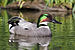 Falcated duck 1.jpg