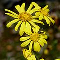 Farfugium japonicum (flower s3).jpg