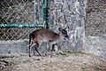 Farm goat.jpg