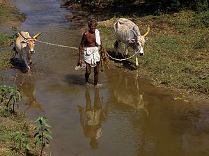 Farmer with oxen in Tamil Nadu, India in the y...
