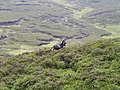Feral goat below the summit of Ben Venue - geograph.org.uk - 1310768.jpg