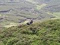 Feral goat below the summit of Ben Venue - geograph.org.uk - 1310768.jpg