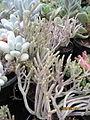Fern-like succulent (3779499462).jpg