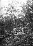 Fern trees, Mt Kembla (2376878068).jpg