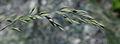 Festuca scoparia var serpentina ÖBG 2012-05-13 02.jpg
