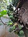 Ficus auriculata 115.jpg