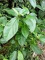 Ficus oppositifolia 2.jpg