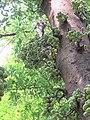 Ficus racemosa fruits at Makutta (10).jpg