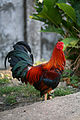 Fighting cock in Mindanao 05.jpg
