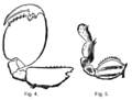 Figures 4 and 5 Descent of Man - Charles Darwin cleaned up.png
