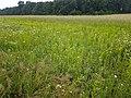 Filago vulgaris sl247.jpg