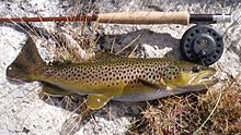 Photo of brown trout and fly rod on river bank