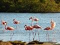 Flamengos at the mangroves (Bonaire 2014) (15110514914).jpg